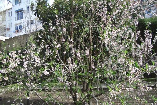 Almendroflorece507x338